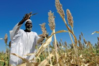 Farmer Harvests Sorghum Seeds in Sudan