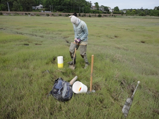 Researcher in a salt marsh sampling soil