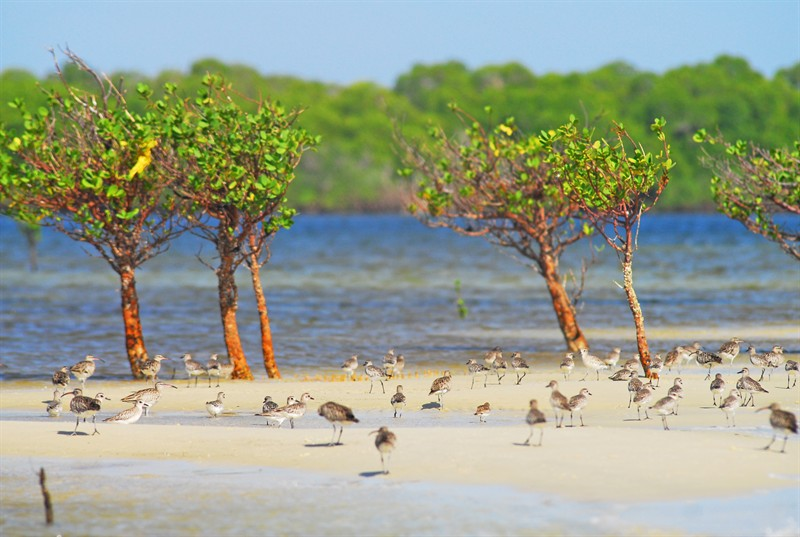 mangroves-and-shorebirds-in-the-lamu-area-indian-ocean-coast-of-kenya_1d20-800x537px