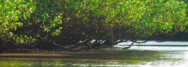 Mangroves_scaled_cropp_646x231_scaled_cropp