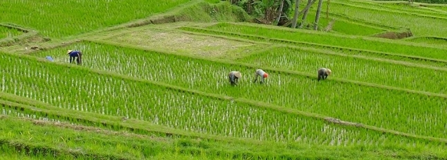 Rice paddies_ Bali_646x231_scaled_cropp